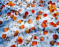 Aspen leaves on snow in Mountain Lakes Wildereness Oregon