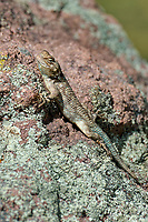442710001 a wild desert spiny lizard sceloporous magister perches on a rock outcrop along the edge of roper lake in roper lake state park cochise county arizona