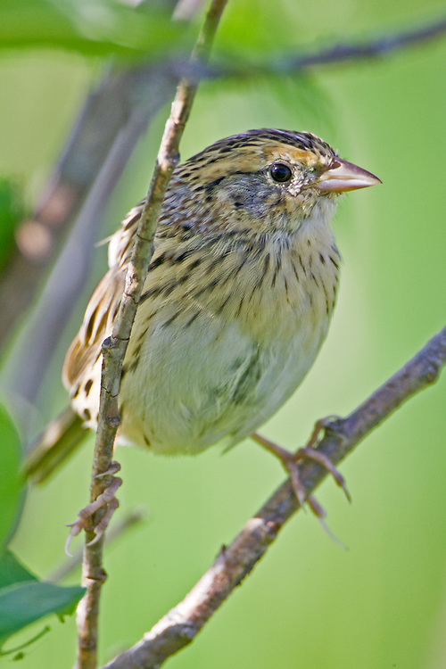 Le Conte's Sparrow perched on a branch