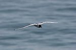 Sabine's gull in flight in Santa Cruz