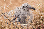 La Jolla, California; a pair of young Western gull chicks resting in the dry brush grass on the sandstone cliffs above the ocean