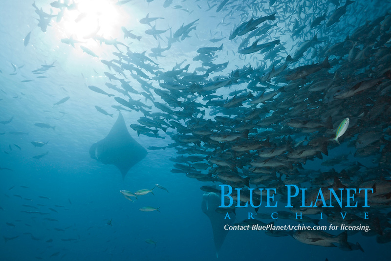 reef manta ray, Manta alfredi, and Black Snapper Shoal, German Channel, Micronesia, Palau
