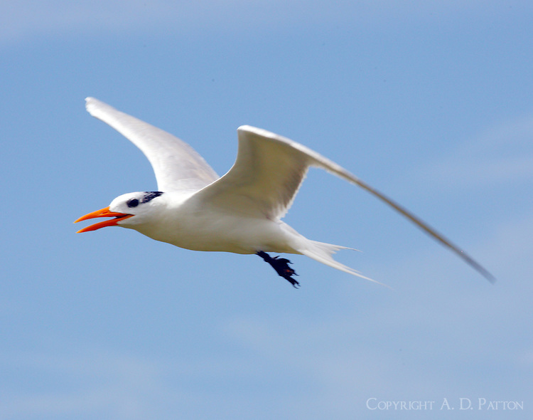 Royal tern in post-breeding plumage