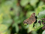 Speckled Wood Butterfly, Pararge aegeria, Kent, UK, wings open in sunshine at edge of woods