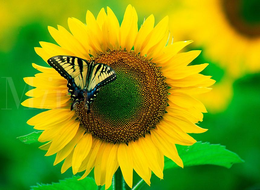 Swallowtail butterfly, yellow, on sunflower