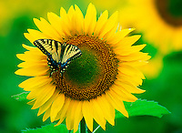 Swallowtail butterfly, yellow, on sunflower