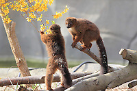 Lemurs playing with a blossom branch, in the Zone Madagascar of the new Parc Zoologique de Paris or Zoo de Vincennes, (Zoological Gardens of Paris or Vincennes Zoo), which reopened April 2014, part of the Musee National d'Histoire Naturelle (National Museum of Natural History), 12th arrondissement, Paris, France. Picture by Manuel Cohen
