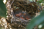 Three newly hatched baby cardinals snoozing in the nest.