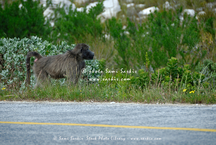 Lonely Chacma baboon (Papio Ursinus)  on side of a highway road, South Western Cape, South Africa