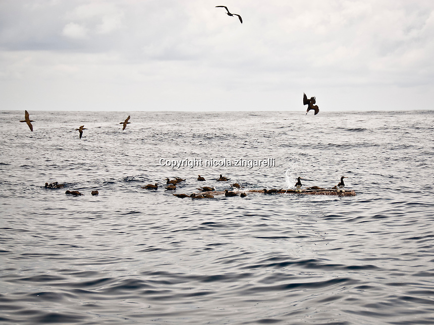 The floating log works as a fish aggregator device (FAD) and the Brown Boobies are bomb diving around the look to pick the baitfish