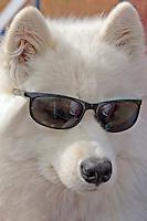 Samoyed with sunglasse