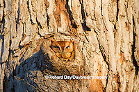 01121-00801 Eastern Screech-Owl (Megascops asio) red phase, in tree cavity, Marion County, IL