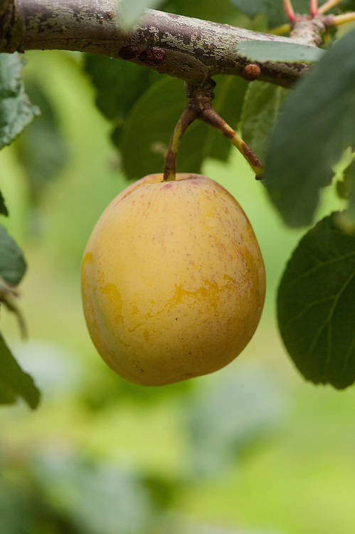 Plum 'Warwickshire Drooper', early September. An old-fashioned variety with large, yellow plums so heavy that they earn their name by weighing down the branches of the tree.