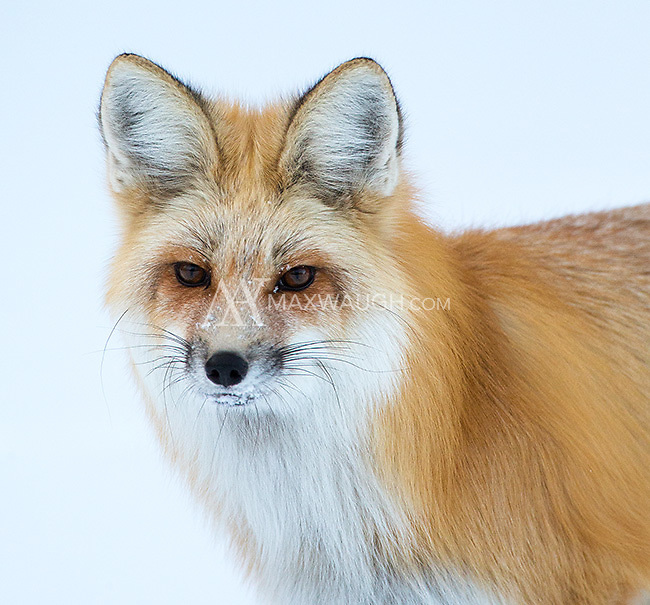 Red foxes sport a beautiful thick coat in winter.