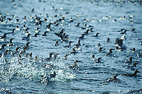 flock of Common Murre in the Olympic Marine Sanctuary