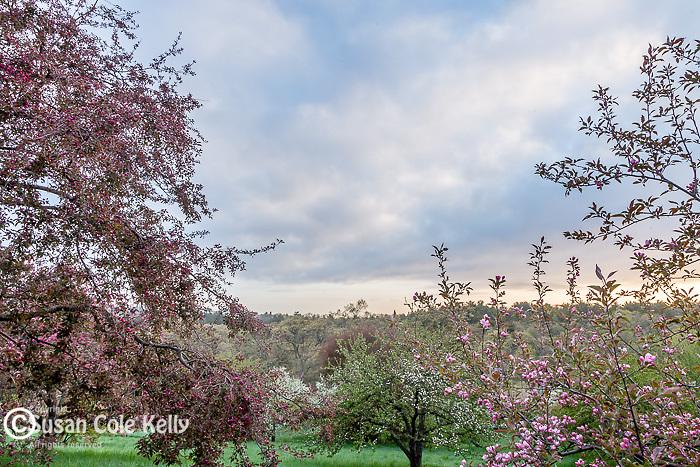 Apple trees on Peters Hill at the Arnold Arboretum in the Jamaica Plain neighborhood, Boston, Massachusetts, USA