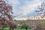 Apple trees on Peters Hill at the Arnold Arboretum in the Jamaica Plain neighborhood, Boston, Massachusetts, USA