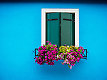 Colorful Pink flowers, blue wall and closed window. The colorful village of Burano, Italy.