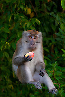 Pictures_of_wild_and_captive_primates_taken_in_Borneo_&_Langkawi_ _in_Malaysia