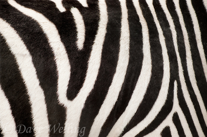 699379526 stripe pattern of a captive burchell's zebra equus burchelli a wildlife rescue animal is native to the african subcontinent