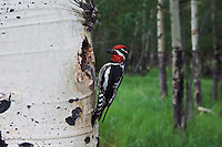 Red-naped Sapsucker, Sphyrapicus nuchalis, adult male with prey at nesting cavity in aspen tree, Rocky Mountain National Park, Colorado, USA, June 2007