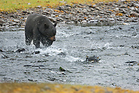 Black bear fishes for pink salmon in a stream along western Prince William Sound, Chugach National Forest, Kenai Peninsula, southcentral, Alaska.