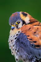 553713021 portrait of a captive male american kestrel falco sparverius raptor is a falconers bird