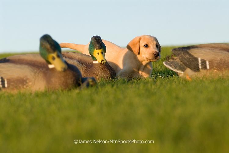 Yellow Labrador retriever with duck decoys.