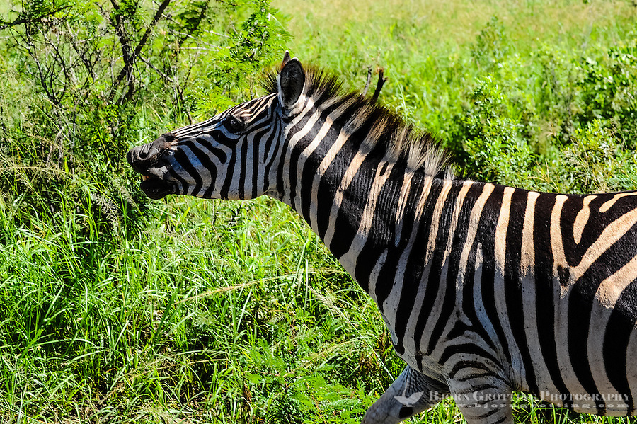 Plains Zebra. Hluhluwe-Umfolozi Game Reserve, South Africa.
