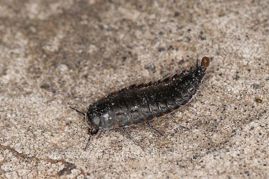 Aaskäfer Larve, Aaskäfer-Larve, Käferlarve, Silpha spec., carrion beetle, burying beetle, Silphidae, carrion beetles, burying beetles
