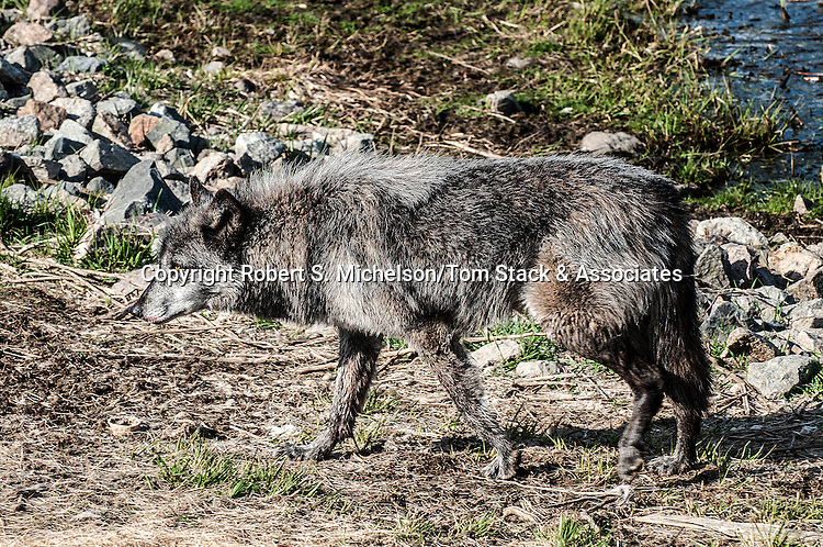 grey wolf male mixed chocolate color phase full body view walking to left