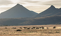 This was my first time seeing black wildebeest, high on the grassy plateaus of the Great Karoo.  They're incredibly shy.