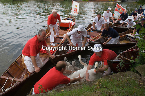 Swan Upping. The River Thames near Windsor Berkshire England 2007.
