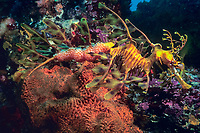 Male Leafy Sea Dragon With Eggs, Phycodurus eques, Kangaroo Island, Australia, Southern Ocean