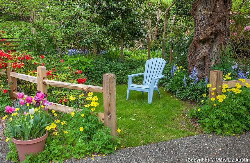 Vashon Island, WA: Sky blue adirondack chair in a ssecluded garden accented with rhododendrons, yellow poppies and a pot of tulips in spring