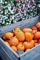 Pumkins with petunias. Al's Garden. Woodburn, OR