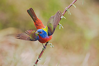 Painted Bunting (Passerina ciris), male displaying, Sinton, Corpus Christi, Coastal Bend, Texas, USA