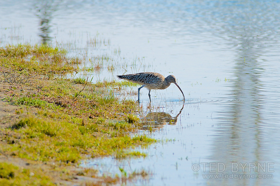 Eurasian Curlew feeding at shoreline