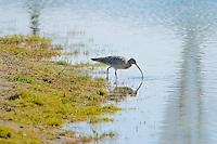 Eurasian Curlew feeding at shoreline
