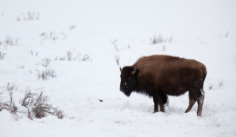 A single buffalo stands in the snow in Yellowstone National Park.