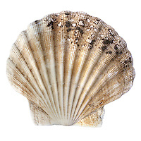 Common Scallop - Pecten maximus