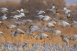 (Greater) Sandhill Cranes (Grus canadensis) flock taking flight from corn field, Bosque Del Apache National Wildlife Refuge, New Mexico, USA