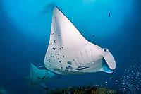 reef manta ray, Manta alfredi, at cleaning station, Manta Sandy dive site, Raja Ampat, West Papua, Indonesia, Indo-Pacific Ocean