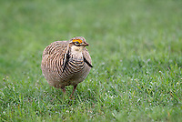 572110258 a wild lesser prairie chicken tympanuchus pallidicintus displays and struts on a lek on a remote ranch near canadian in the texas panhandle