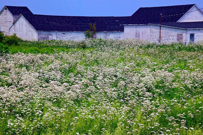 Low white buildings, field of white flowers Nova Scotia; Canada