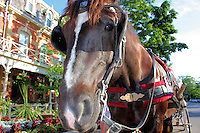A beautiful horse stands in harness waiting for a buggy fair.