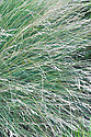 Poa labillardieri, early July. Commonly known as Common or Blue tussock grass. Native to Australia.