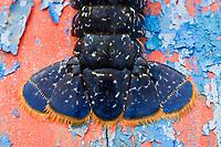 Europe/France/Bretagne/29/Finistère/Cléden Cap Sizun : les homards bleus d' Huguette le Gall du restaurant  'Etrave