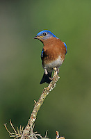 Eastern Bluebird, Sialia sialis, male, Lake Corpus Christi, Texas, USA, April 2003
