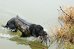 Mississippi,hunting, retriever with duck,black lab, hunting dog